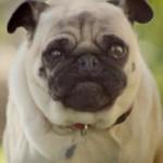Pug Attack Ad Scores at Super Bowl