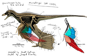 Colored rendering showing feather extent in Microraptor gui (Illustration by David Krentz)