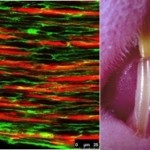 The inferior alveolar nerve provides a niche for stem cells that maintain incisor homeostasis. When the nerve is severed, homeostasis is disrupted and within one month the affected incisor becomes chalky and breaks. (Photos/courtesy of Center for Craniofacial Molecular Biology)