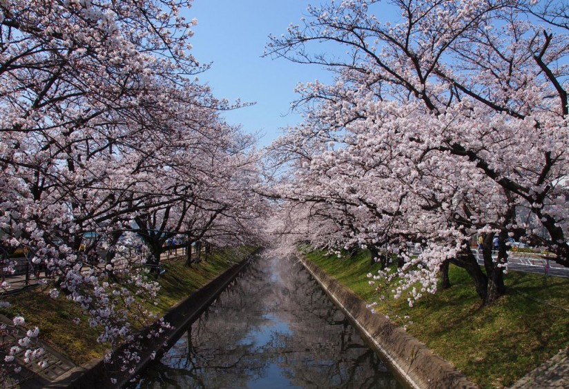 cherry blossoms bloom in Japan