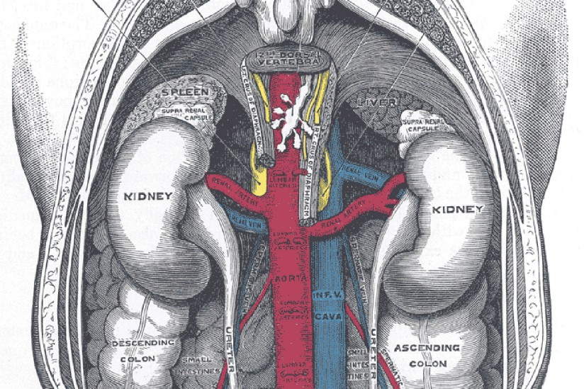 Kidneys, Human body, Illustration,