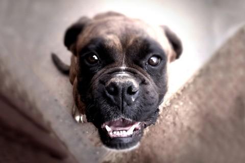 Dog, Animal healer