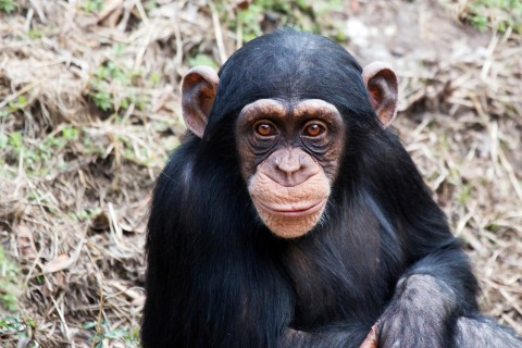 Endangered Chimpanzee Population