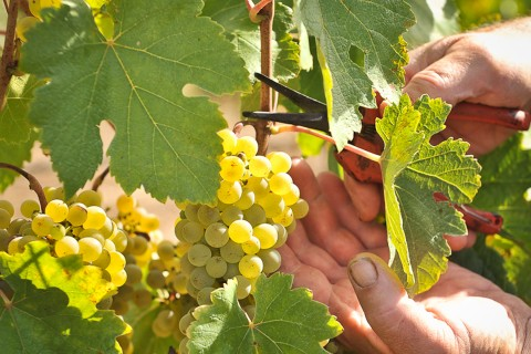 grapes, farm workers,