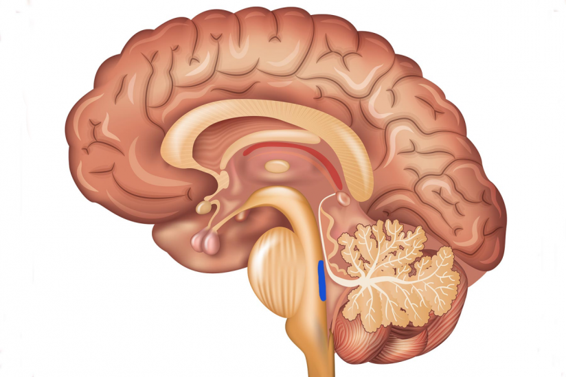 Neurons Location In The Brain