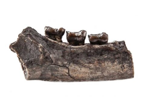 photo of a fossilized jaw with three primate teeth