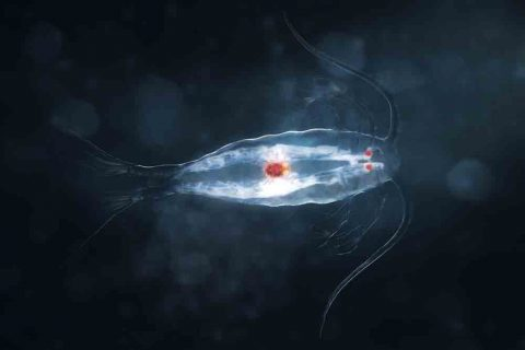 glowing copepod
