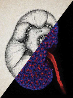 Mouse kidney USC stem cell research