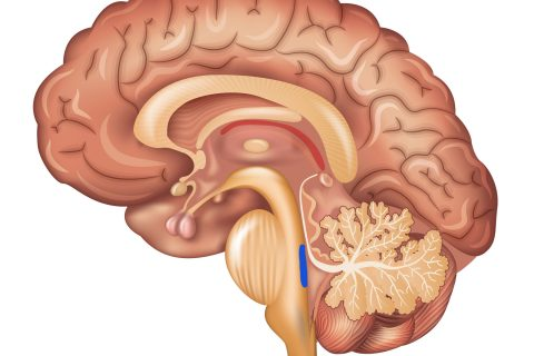 Sagittal illustration of brain