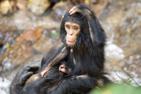 Are gorillas endangered: Photo of wild chimpanzee in the field