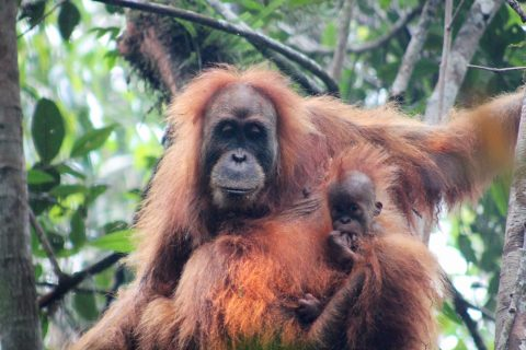 Adult Tapnuli orangutan and juvenile