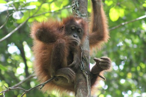 Orangutan playing in tree