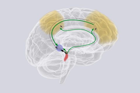 Illustration of brain showing locus coereleus