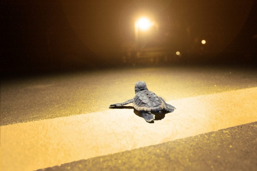 Effect of light on animals: Sea turtle hatchling and roadway lighting
