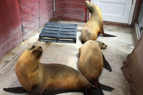 Groundbreaking USC research: Domoic Acid toxicity sea lions