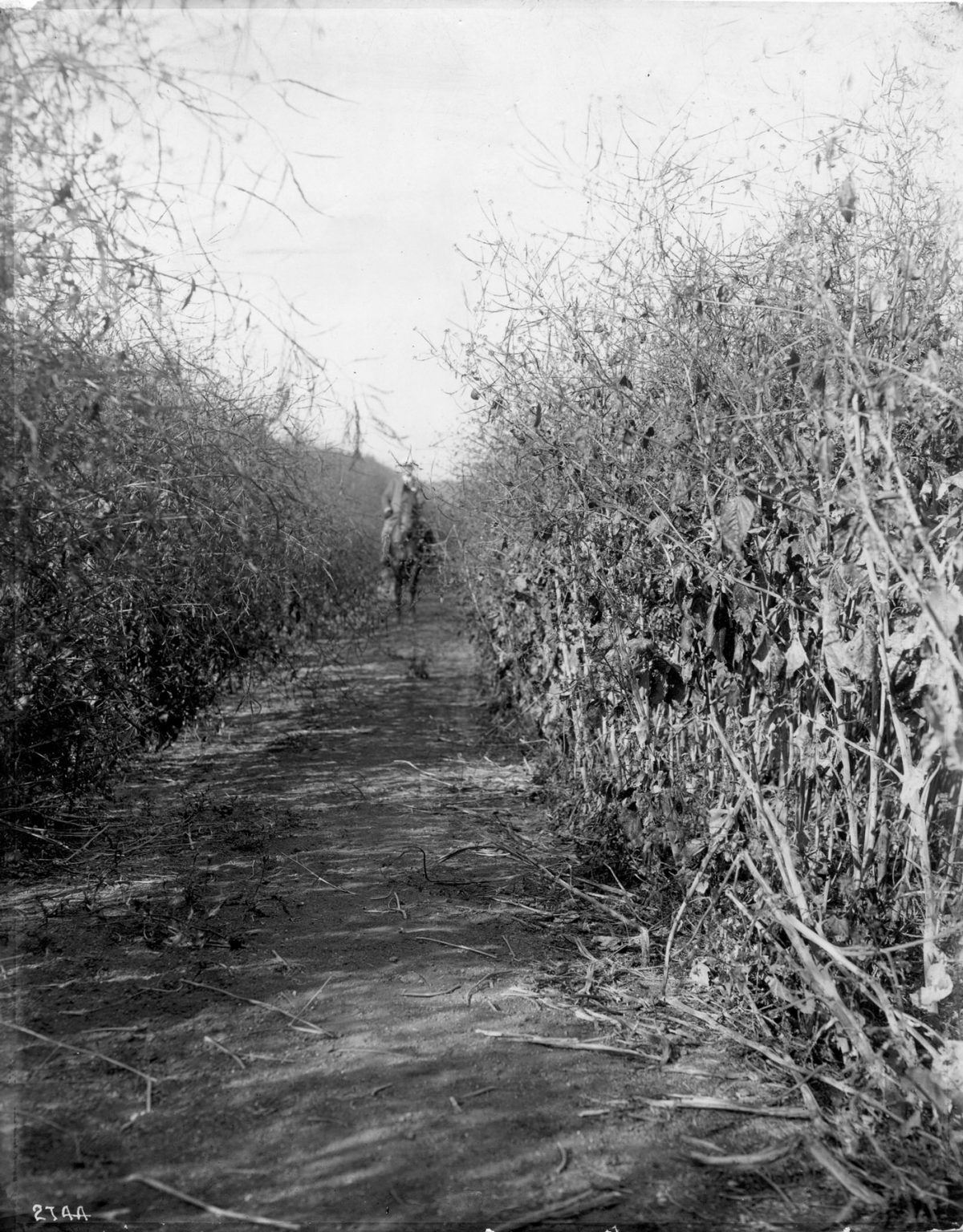 History of the USC campus: Mustard fields (Photo/Courtesy of USC Libraries)