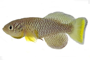 killifish research model