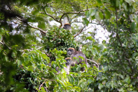 endangered african red colobus monkey