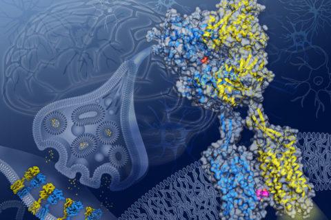 GABAB receptor protein brain activity