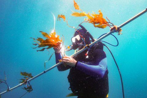kelp elevator biofuel growth USC research