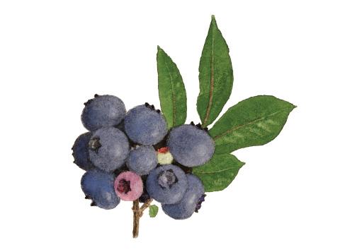 Illustration of berries