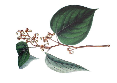 Illustration of an herb